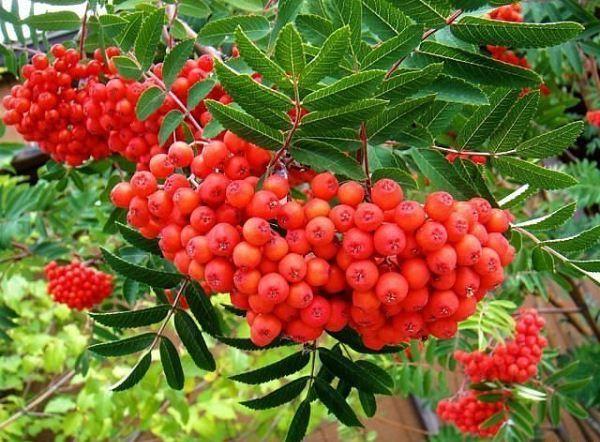 14 червени плодове: имена и видове, дървета с червени плодове