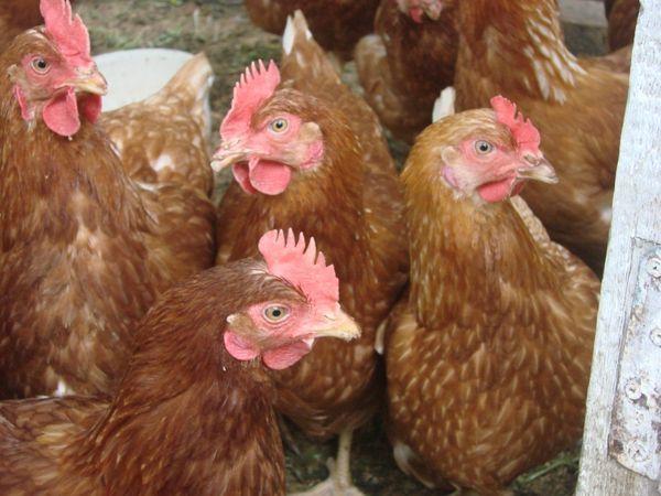velké ptáky pro malé kuřata dělat arabské ženy jako anální sex